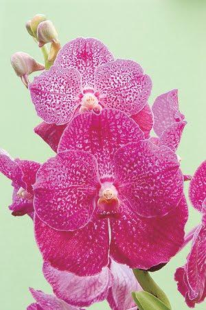 Orquídeas_ imagem internet