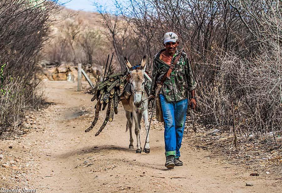 Jumento transporta cactus para almento de gado durante seca