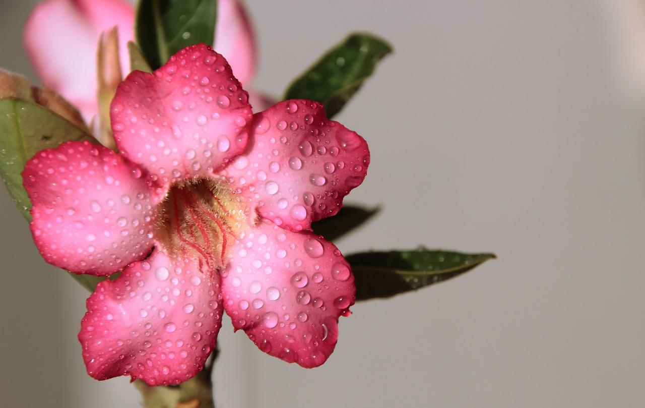 rosa do deserto (1)