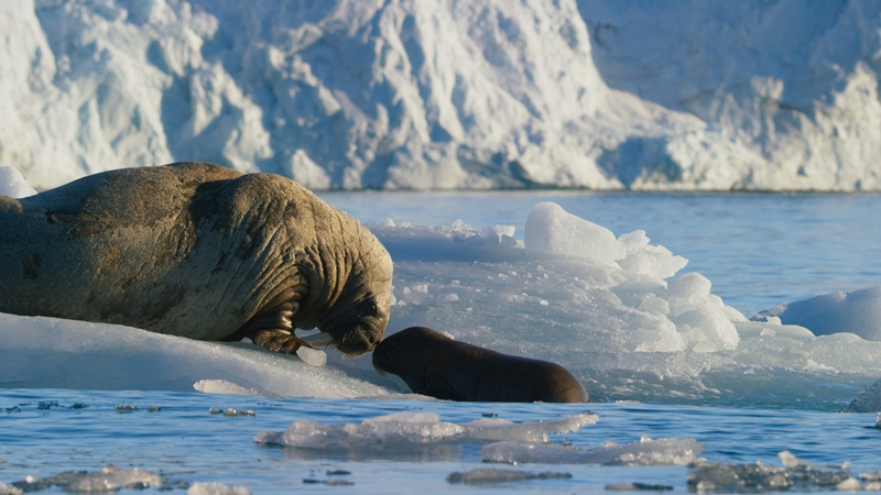Walrus mother and calf resting on an iceberg, Svalbard, Arctic. The bond between mother and calf is very strong, reinforced by vocal communication and their strong sense of smell.