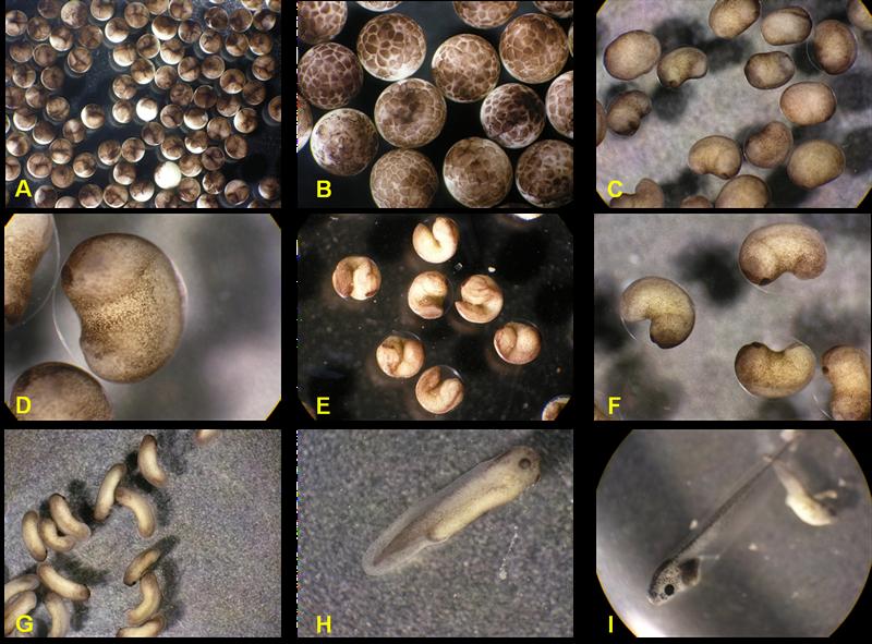 Embriões do sapo Xenopus laevis foram utilizados como modelo animal para o desenvolvimento da pesquisa - Acervo Eduardo Sequerra